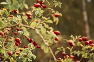 Ecological rosehip for horses